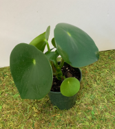 Peperomia Polybotrya - Raindrop ADD ON