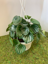 Peperomia Watermelon 6 inch pot