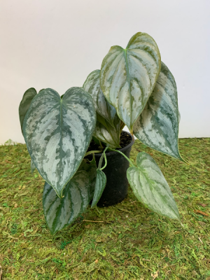 Philodendron Brandi 4 inch pot (ADD ON) in Northport, NY   Hengstenberg's Florist