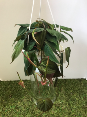 Philodendron Micans  6 inch hanging basket in Northport, NY   Hengstenberg's Florist