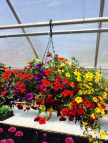 Million Bell Hanging Basket available during the months May-July