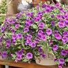 Million Bells Hanging Basket  in Osceola Mills, PA | COLONIAL FLOWER & GIFT SHOP