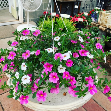 Million Bells Hanging Basket Plant