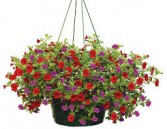 Million Bells Petunia Hanging Basket