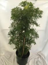 Ming Aralia Indoor Plant