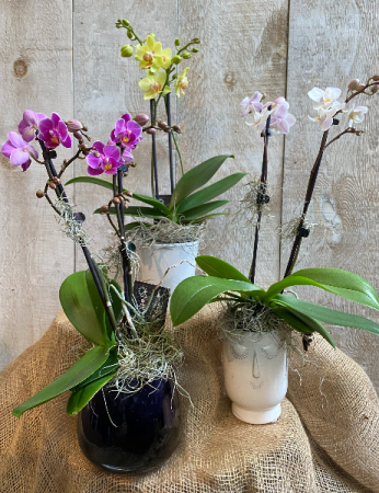 Mini Double Stem Orchids Potted