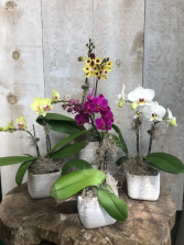 Mini Double Stem Phaelanopsis Orchid Plant