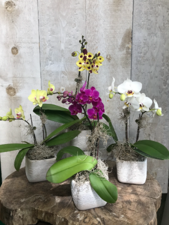 Mini Double Stem Phaelanopsis Orchid Plant