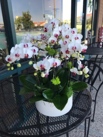 Mini phalaenopsis with white pot