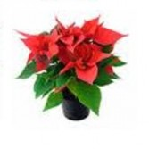 Mini Poinsettia Potted Plant