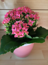 Mini Potted Kalanchoe Plant