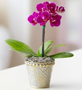 Mini Purple Orchid Plant in Ventura, CA | Mom And Pop Flower Shop