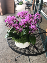 Mini purple phalaenopsis in white pot