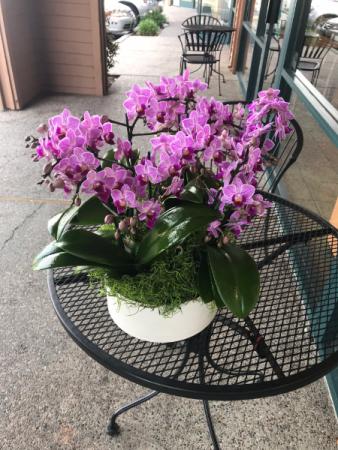 Mini purple phalaenopsis in white pot