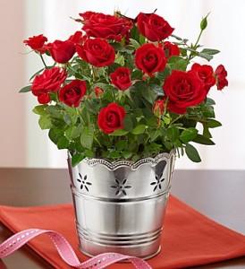 Mini Rose  Plant