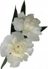 Miniature Carnation  B19-18 Boutonniere