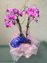 Divine Phalaenopsis Orchid Double Stem