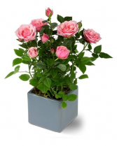 Miniature Rose Bush