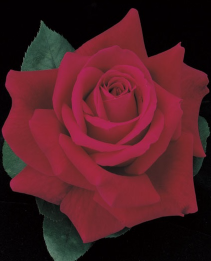 Mister Lincoln 5 gallon - Hybrid Tea