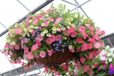 MIX HANGING BASKETS MIX
