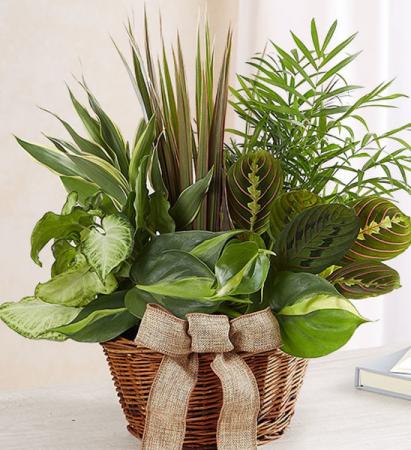MIX OF GREEN PLANTS IN A WICKER BASKET