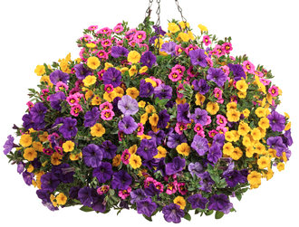 MIX PETUNIA &SUPERBELL HANGING BASKET