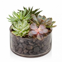 Mix Succulent Plants