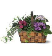 Mixed African Violet Basket