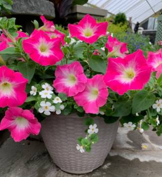 Mixed Annual Planter Flowering Plant