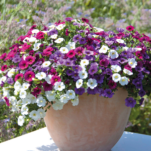 Mixed Annuals Planter Outdoor Plants in Fitchburg, MA | CAULEY'S FLORIST & GARDEN CENTER