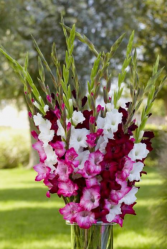 Mixed Gladiolus Vase Any Occassion