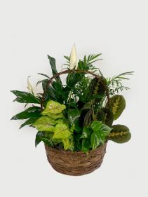 Mixed Green Plants in Basket Medium Planter