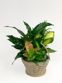 Mixed Green Plants in Basket Small Planter