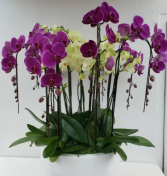 Mixed Orchid Planter Any Occassion