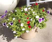 Mixed Petunia Planter