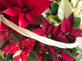 Mixed Poinsettia Plant Baskets
