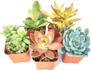 Mixed Succulent Basket house plant