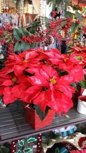 Mixed Varieties  of Poinsettia plants