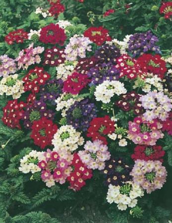 Mixed Verbena Greenhouse