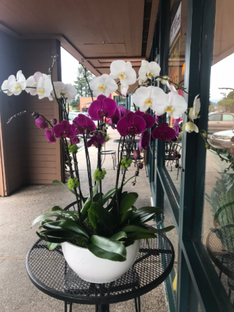 Mixed white and purple large orchid with white pot