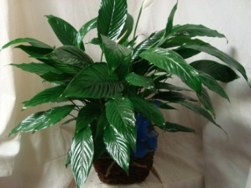"""Peace Lilly ( 6"""" pot) in a  basket or tin  container to go home to someone after services."""