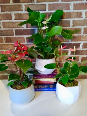 Anthurium Plant  in Melbourne, FL | VIOLETS IN BLOOM