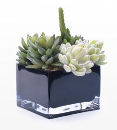 Modern Cube Succulent Plant succulent in Las Vegas, NV | AN OCTOPUS'S GARDEN