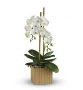 Modern Orchid Plant Phalaenopsis  Orchid in Ceramic Container