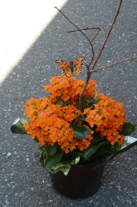 Monarch Kalanchoe Blooming Plant