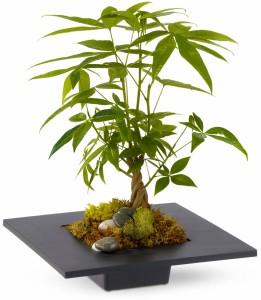 Money Tree H12Z101A