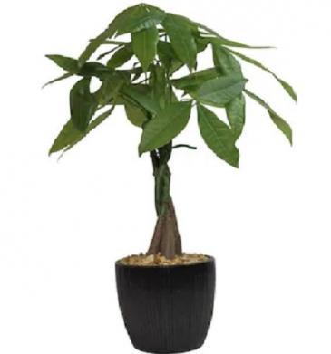 "Money Tree *Air Purifier"""