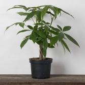 Money Tree - Braid Potted plant