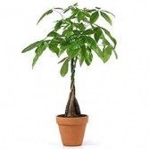 Money Tree ** Call for Availability ** Container may vary