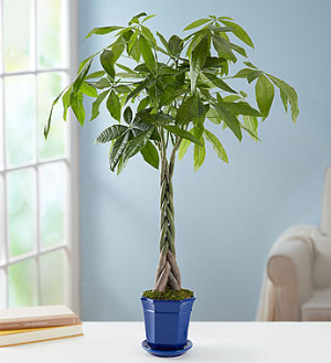 MONEY TREE Green plant in Longview, TX | ANN'S PETALS
